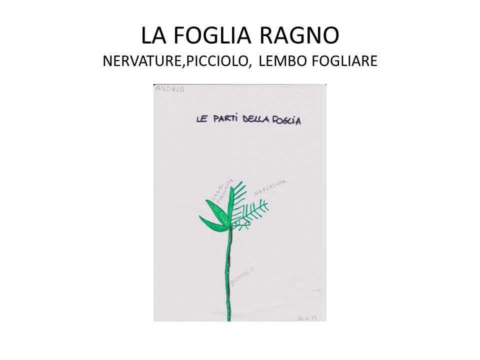 LA FOGLIA RAGNO NERVATURE,PICCIOLO, LEMBO FOGLIARE