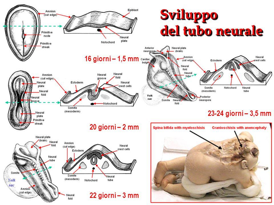 Sviluppo del tubo neurale