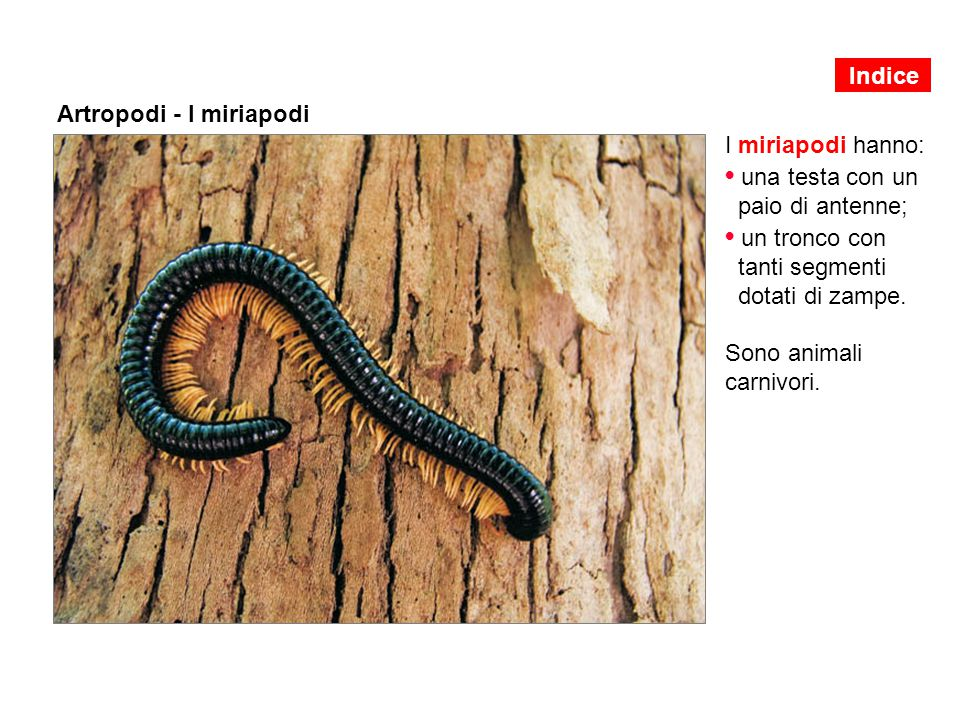 Artropodi - I miriapodi