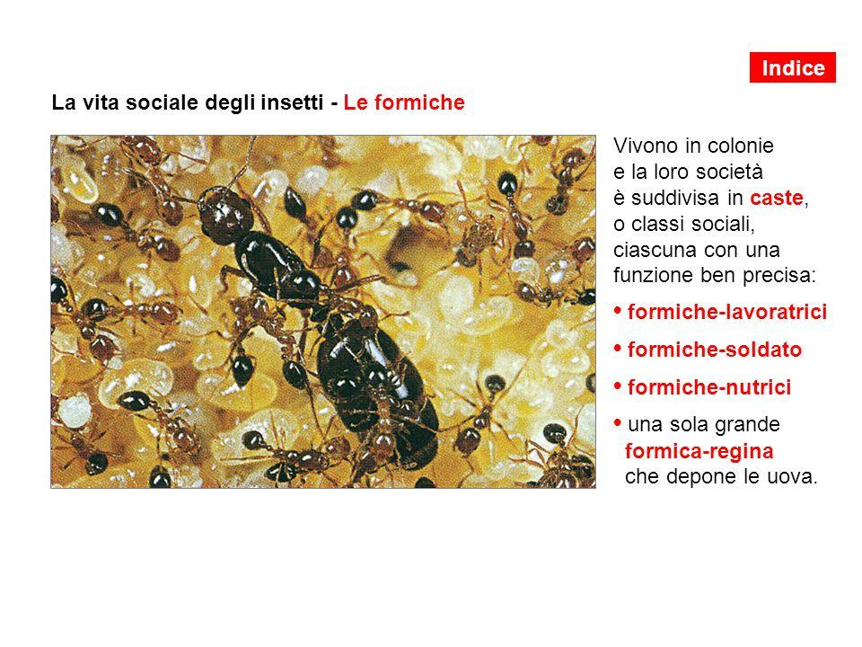 La vita sociale degli insetti - Le formiche