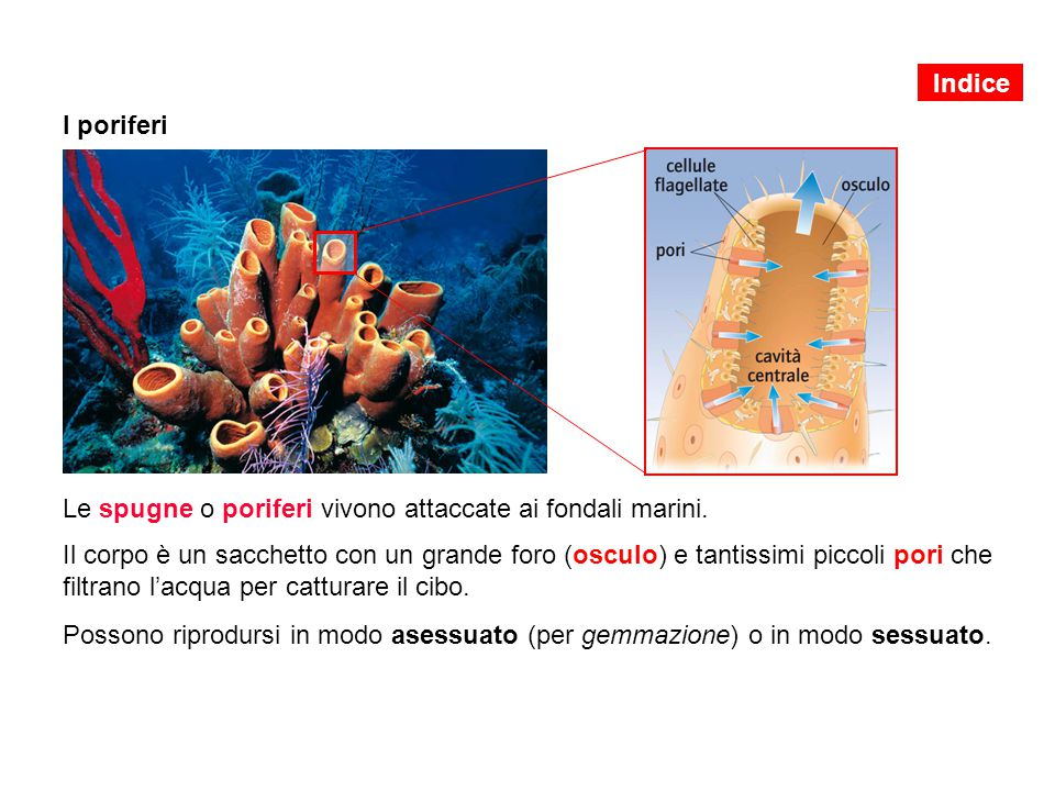 Indice I poriferi. Le spugne o poriferi vivono attaccate ai fondali marini.