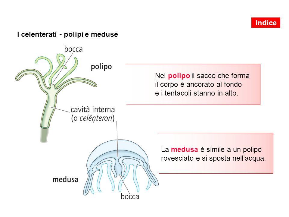 I celenterati - polipi e meduse