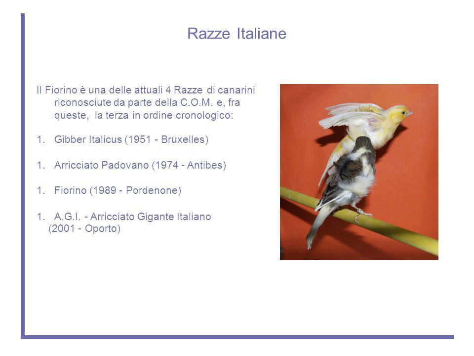 Razze Italiane Il Fiorino è una delle attuali 4 Razze di canarini riconosciute da parte della C.O.M. e, fra queste, la terza in ordine cronologico: