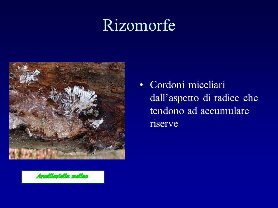 Rizomorfe Cordoni miceliari dall'aspetto di radice che tendono ad accumulare riserve.
