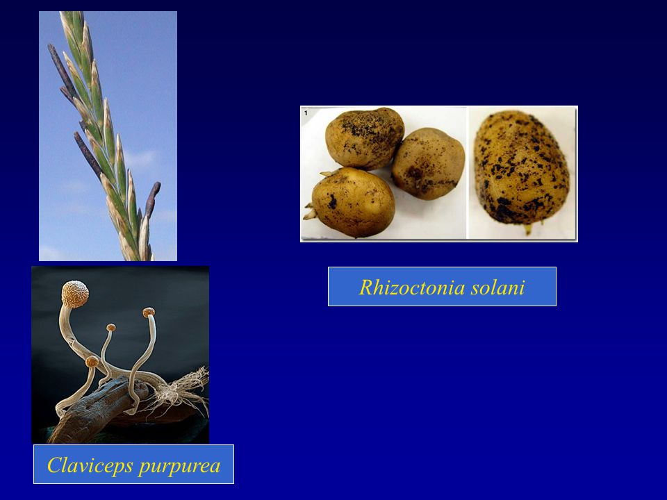 Rhizoctonia solani Claviceps purpurea