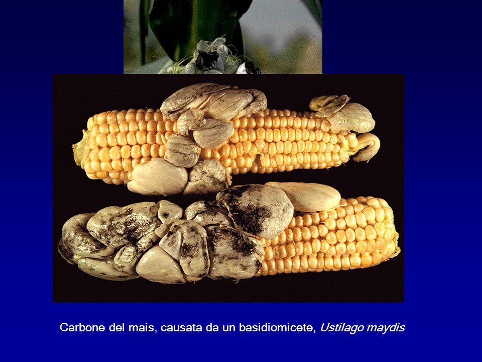 Carbone del mais, causata da un basidiomicete, Ustilago maydis