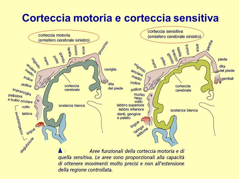 Corteccia motoria e corteccia sensitiva