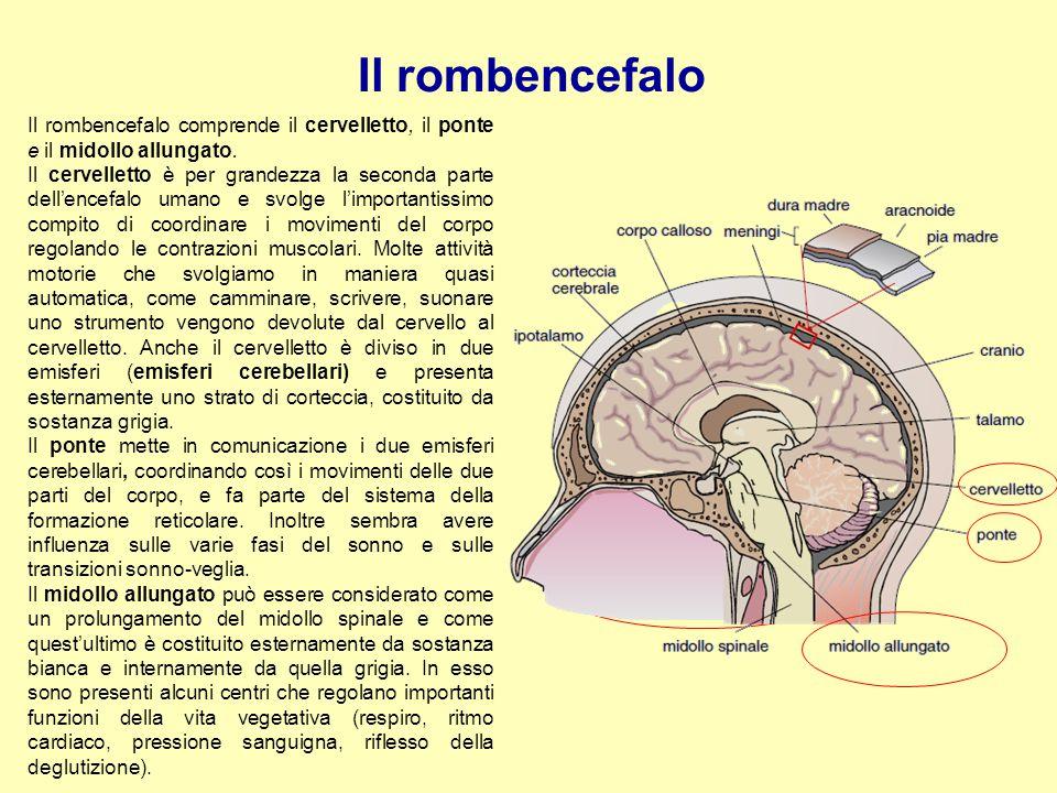 Il rombencefalo Il rombencefalo comprende il cervelletto, il ponte e il midollo allungato.