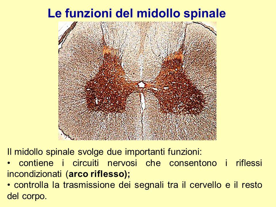 Le funzioni del midollo spinale