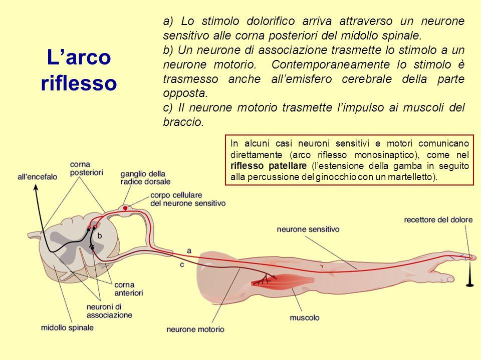 L'arco riflesso a) Lo stimolo dolorifico arriva attraverso un neurone sensitivo alle corna posteriori del midollo spinale.