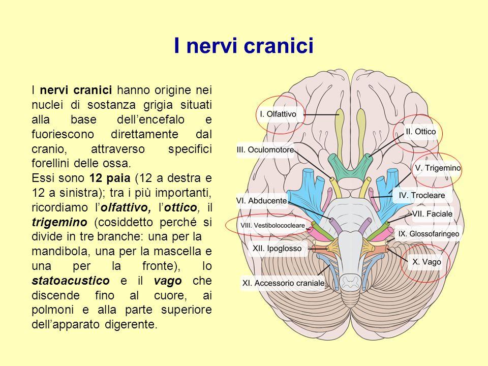 I nervi cranici