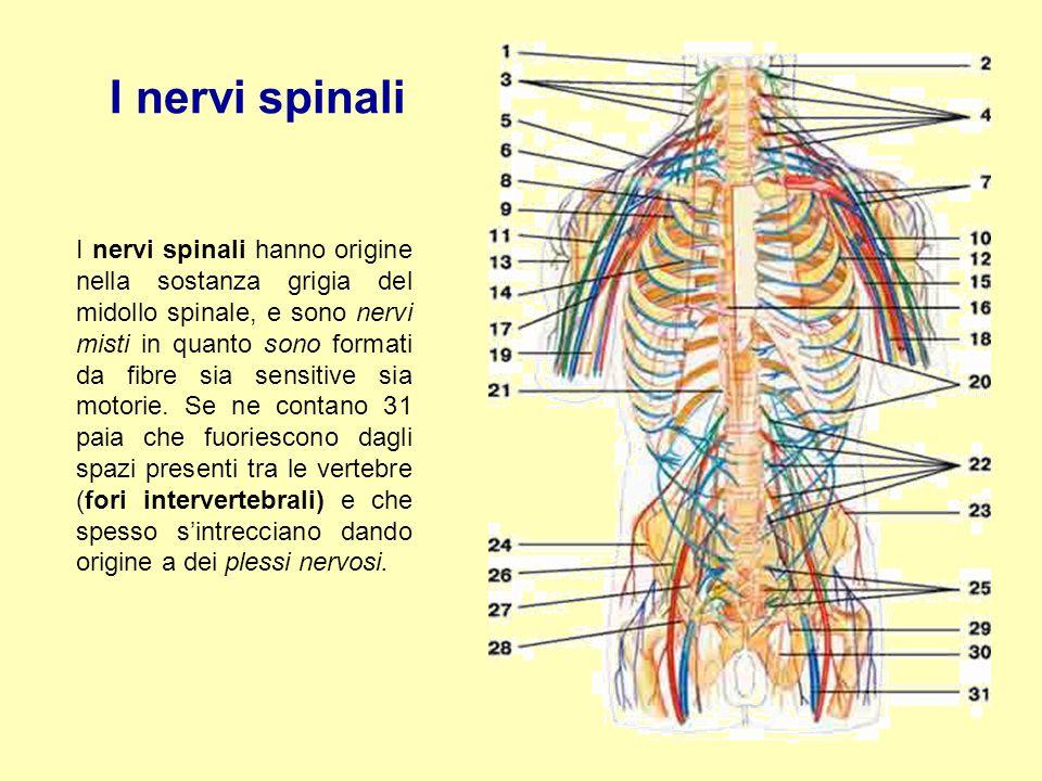 I nervi spinali