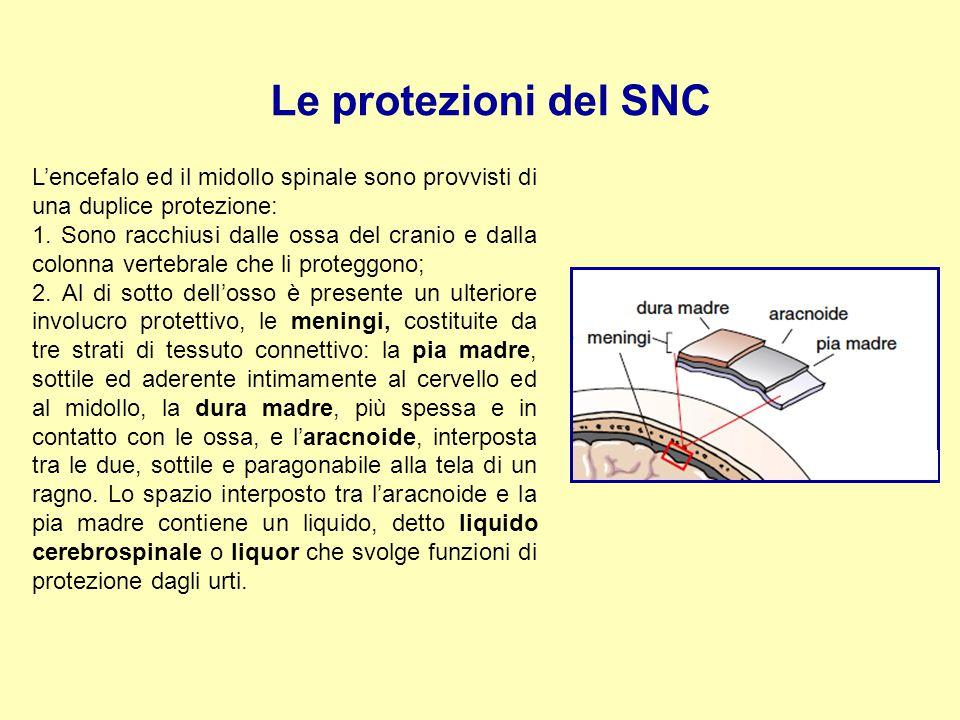 Le protezioni del SNC L'encefalo ed il midollo spinale sono provvisti di una duplice protezione: