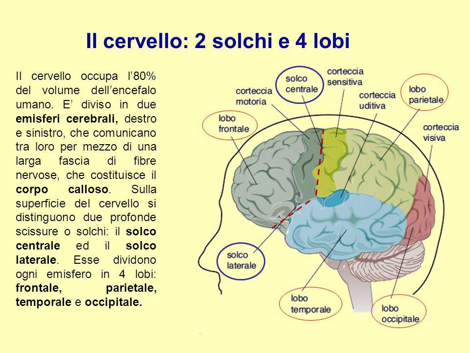 Il cervello: 2 solchi e 4 lobi