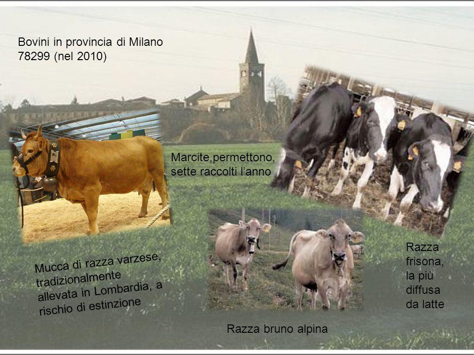 Bovini in provincia di Milano 78299 (nel 2010)