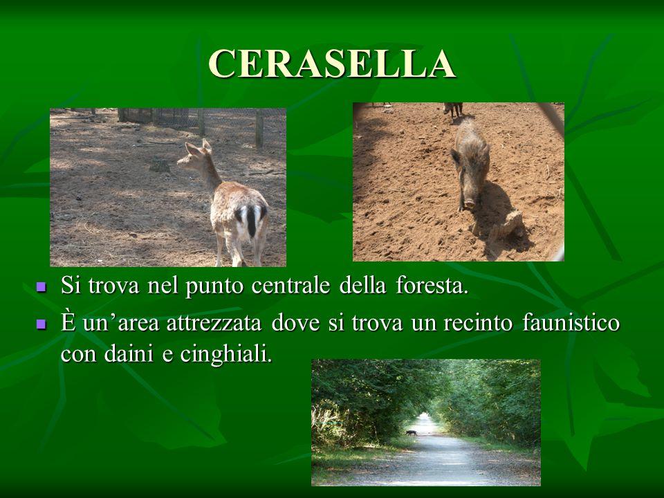 CERASELLA Si trova nel punto centrale della foresta.