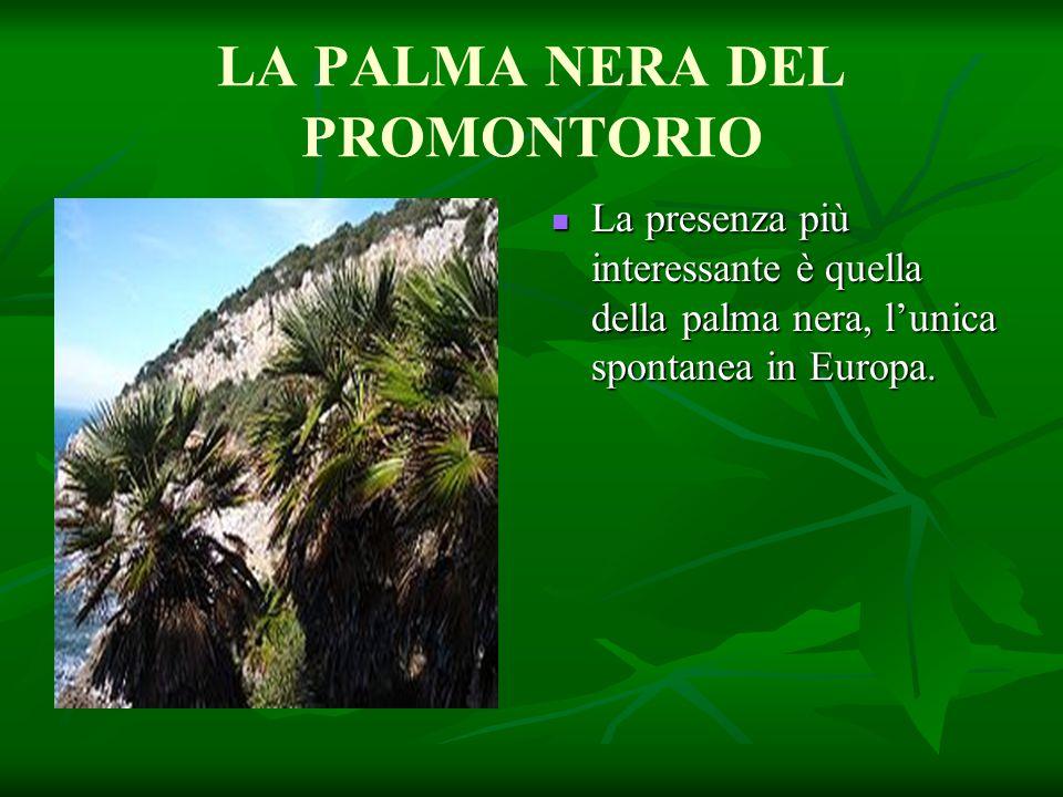 LA PALMA NERA DEL PROMONTORIO