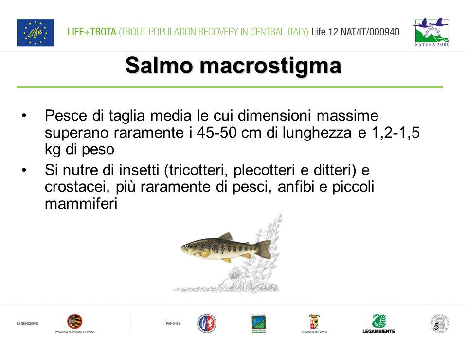 Salmo macrostigma Pesce di taglia media le cui dimensioni massime superano raramente i 45-50 cm di lunghezza e 1,2-1,5 kg di peso.