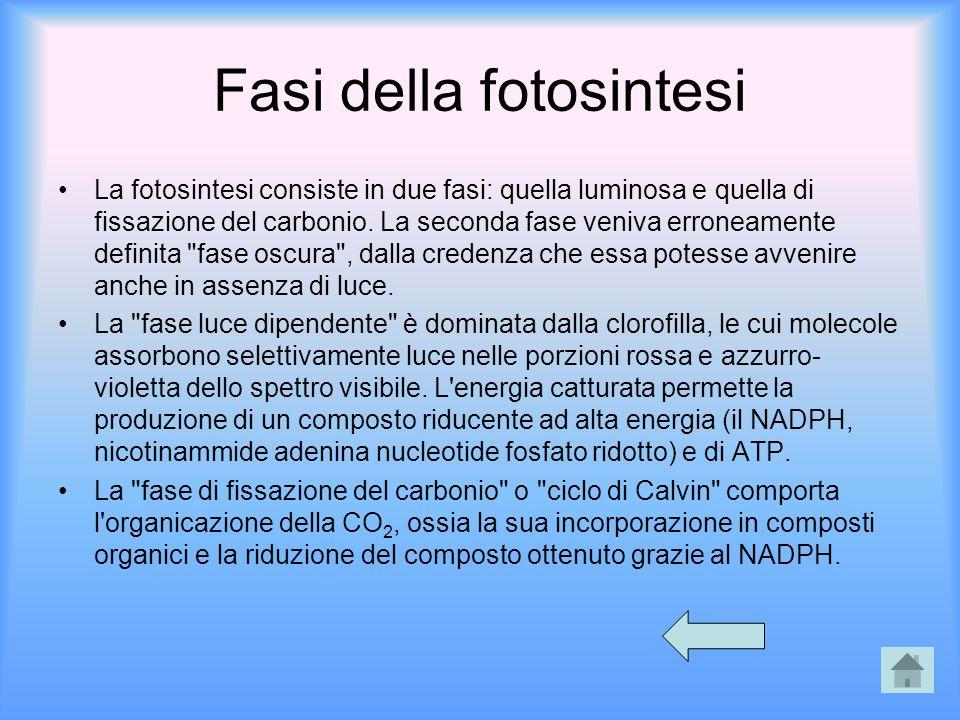 Fasi della fotosintesi