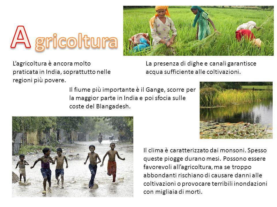 A gricoltura. L'agricoltura è ancora molto praticata in India, soprattutto nelle regioni più povere.
