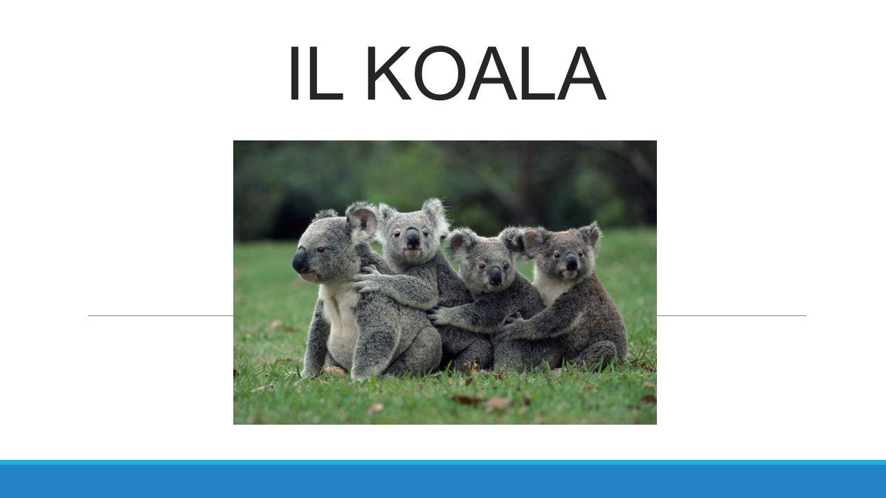 IL KOALA