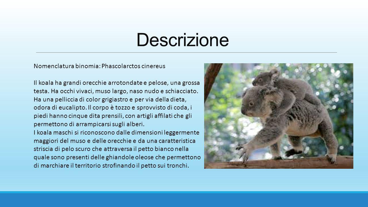 Descrizione Nomenclatura binomia: Phascolarctos cinereus