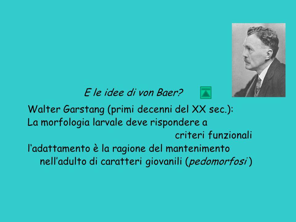 E le idee di von Baer Walter Garstang (primi decenni del XX sec.): La morfologia larvale deve rispondere a.