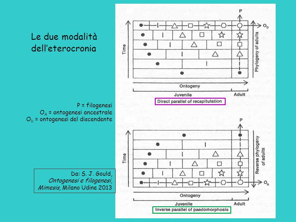 Le due modalità dell'eterocronia P = filogenesi