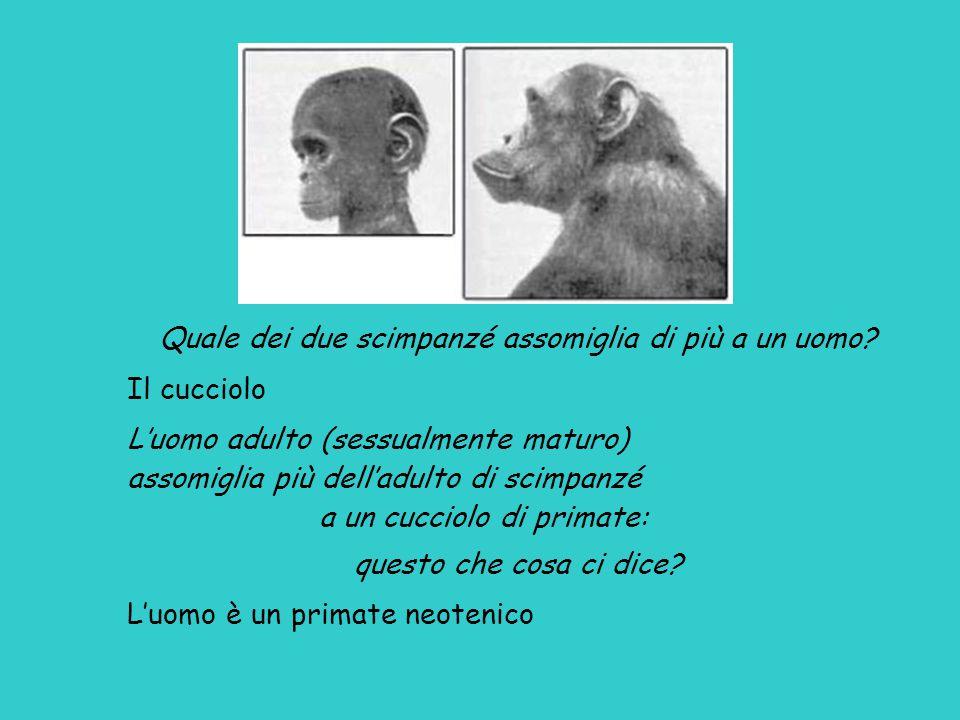 Quale dei due scimpanzé assomiglia di più a un uomo