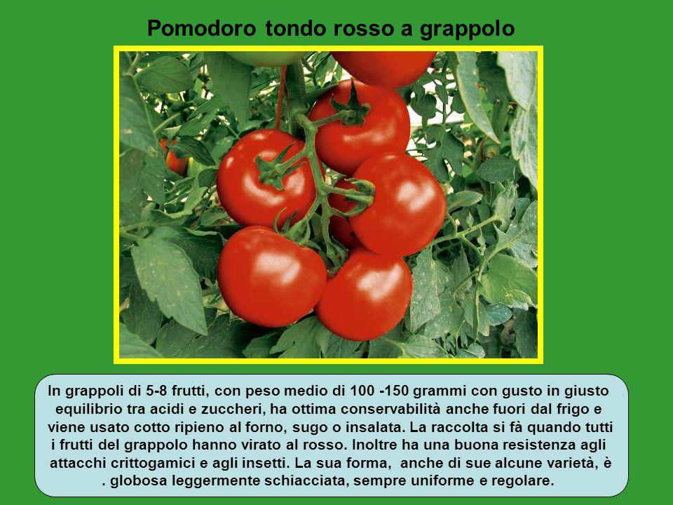 Pomodoro tondo rosso a grappolo