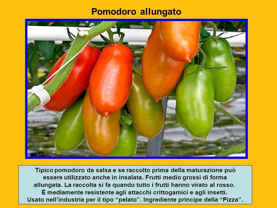 Pomodoro allungato Tipico pomodoro da salsa e se raccolto prima della maturazione può.