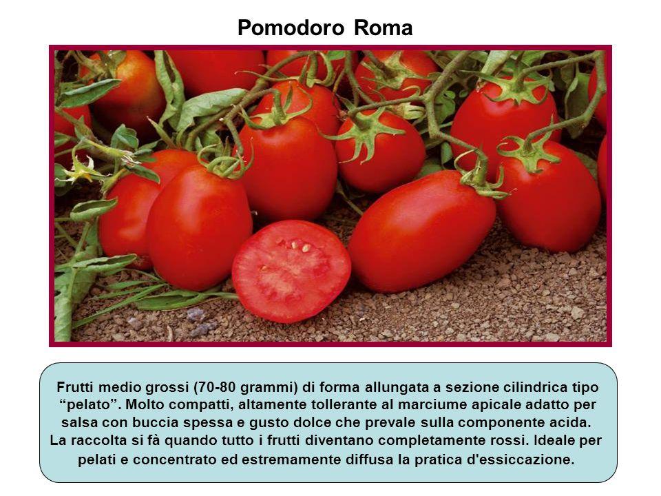 Pomodoro Roma Frutti medio grossi (70-80 grammi) di forma allungata a sezione cilindrica tipo.