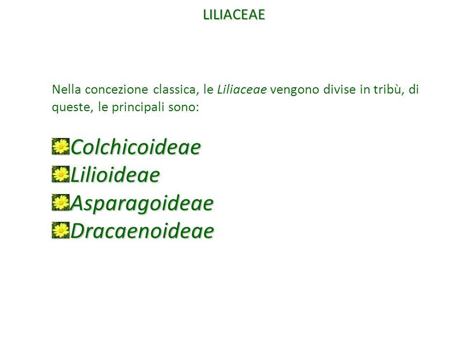 Colchicoideae Lilioideae Asparagoideae Dracaenoideae LILIACEAE