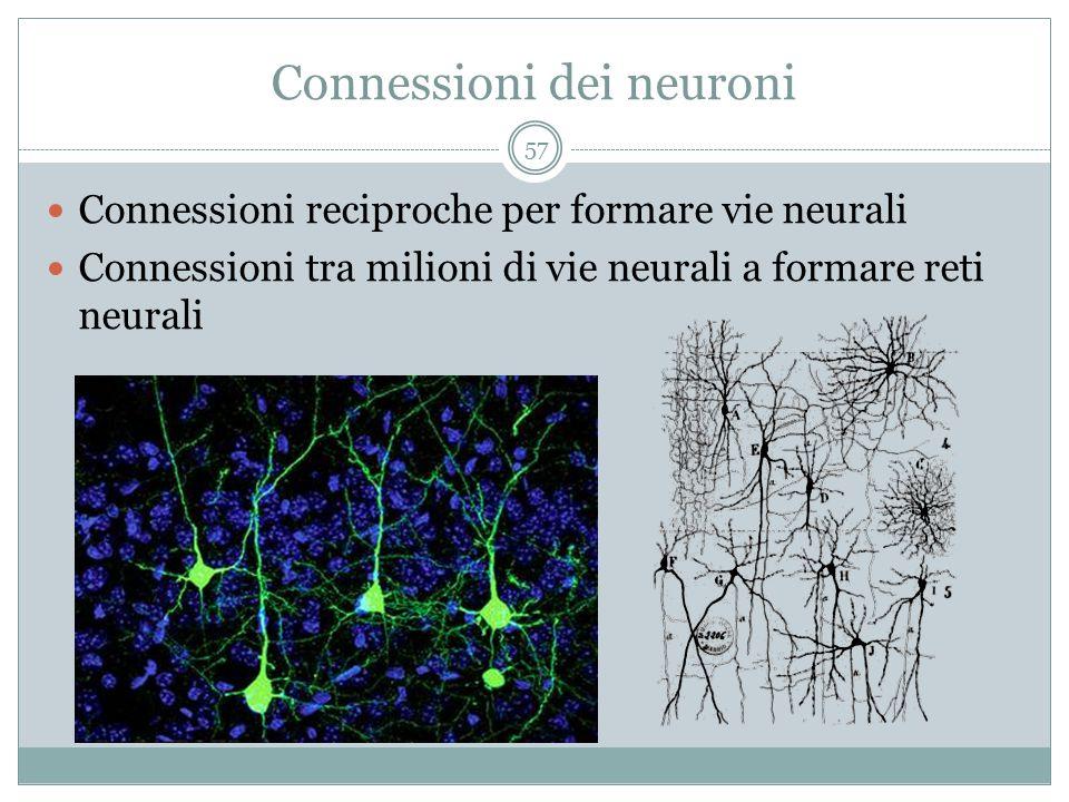 Connessioni dei neuroni