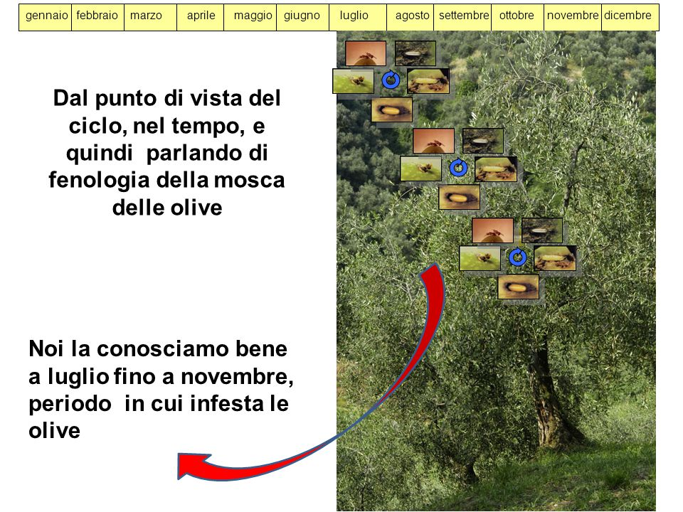 a luglio fino a novembre, periodo in cui infesta le olive