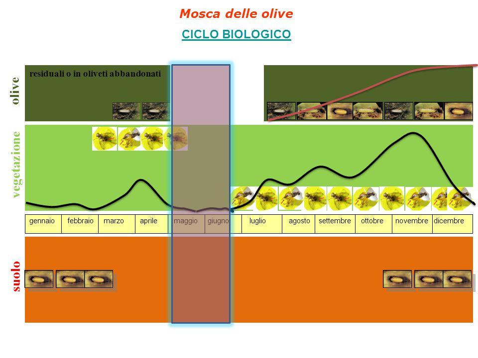 olive vegetazione suolo Mosca delle olive CICLO BIOLOGICO
