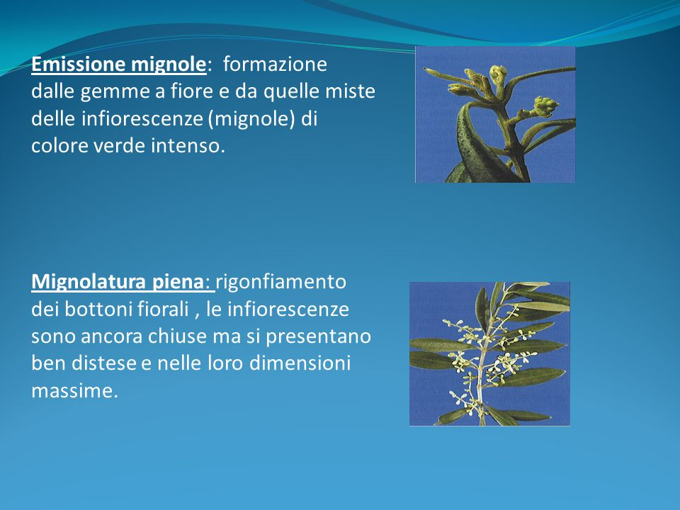 Emissione mignole: formazione dalle gemme a fiore e da quelle miste delle infiorescenze (mignole) di colore verde intenso.