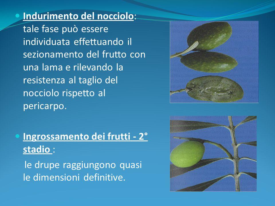 Indurimento del nocciolo: tale fase può essere individuata effettuando il sezionamento del frutto con una lama e rilevando la resistenza al taglio del nocciolo rispetto al pericarpo.