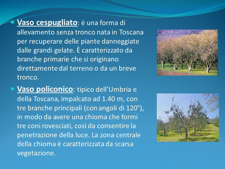 Vaso cespugliato: è una forma di allevamento senza tronco nata in Toscana per recuperare delle piante danneggiate dalle grandi gelate. È caratterizzato da branche primarie che si originano direttamente dal terreno o da un breve tronco.