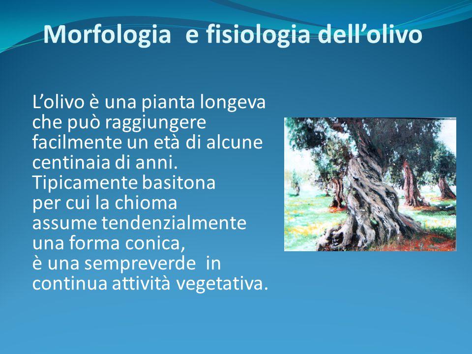 Morfologia e fisiologia dell'olivo