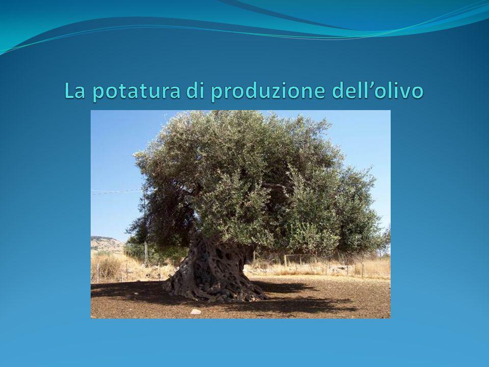 La potatura di produzione dell'olivo