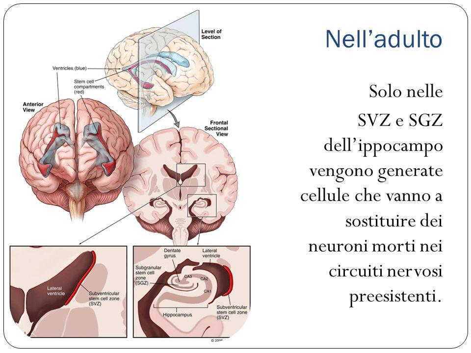 Nell'adulto Solo nelle SVZ e SGZ dell'ippocampo vengono generate cellule che vanno a sostituire dei neuroni morti nei circuiti nervosi preesistenti.