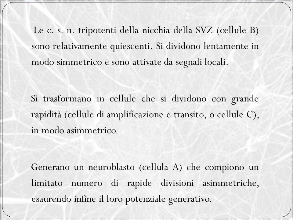 Le c. s. n. tripotenti della nicchia della SVZ (cellule B) sono relativamente quiescenti. Si dividono lentamente in modo simmetrico e sono attivate da segnali locali.