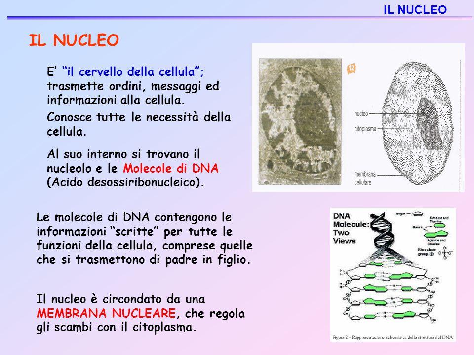 IL NUCLEO IL NUCLEO Conosce tutte le necessità della cellula.