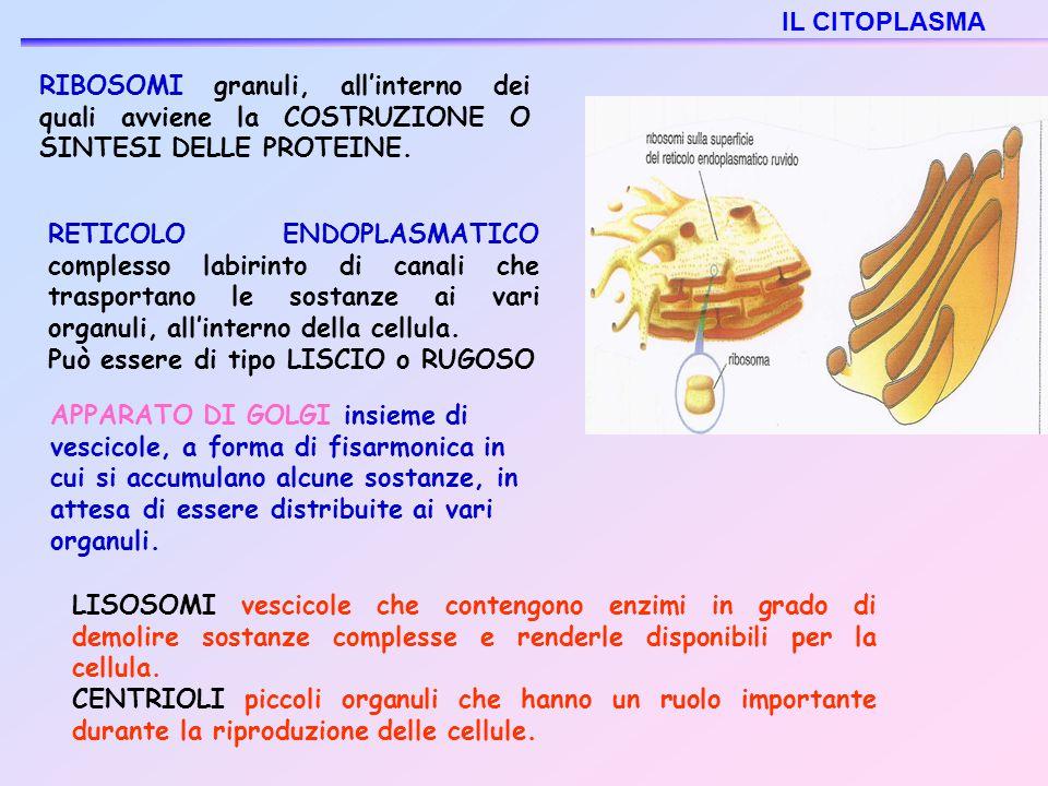 IL CITOPLASMA RIBOSOMI granuli, all'interno dei quali avviene la COSTRUZIONE O SINTESI DELLE PROTEINE.