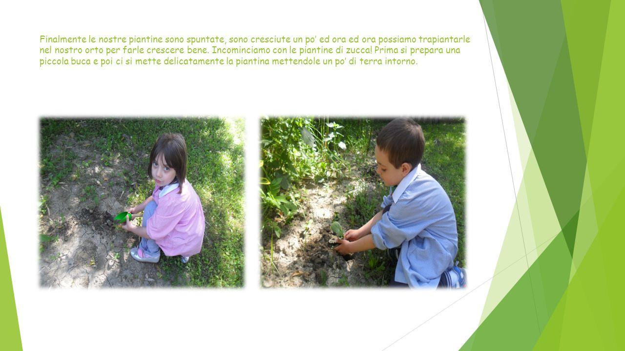 Finalmente le nostre piantine sono spuntate, sono cresciute un po' ed ora ed ora possiamo trapiantarle nel nostro orto per farle crescere bene.