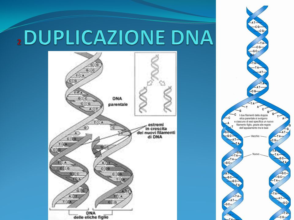 2 DUPLICAZIONE DNA