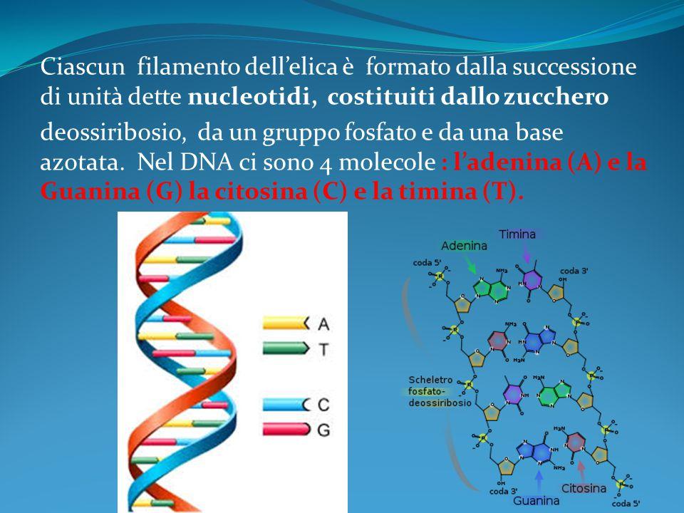 Ciascun filamento dell'elica è formato dalla successione di unità dette nucleotidi, costituiti dallo zucchero