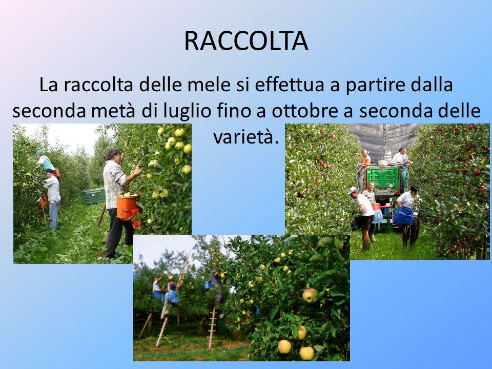 RACCOLTA La raccolta delle mele si effettua a partire dalla seconda metà di luglio fino a ottobre a seconda delle varietà.