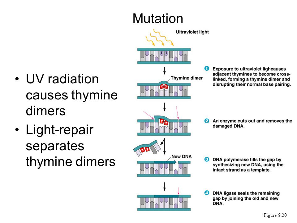 UV radiation causes thymine dimers